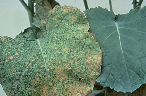boron deficiency leaf
